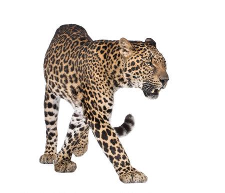 panthera pardus: Portrait of leopard, Panthera pardus, walking in front of white background, studio shot  Stock Photo