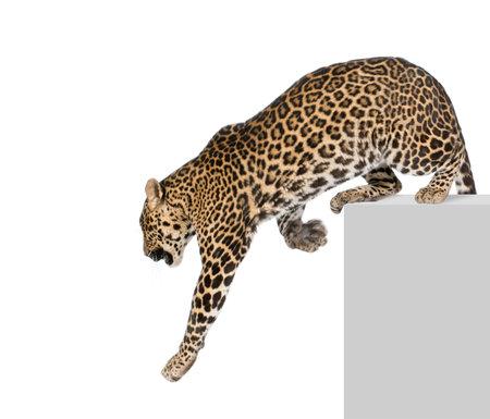 leopard cat: Leopard, Panthera pardus, climbing off pedestal against white background, studio shot Stock Photo