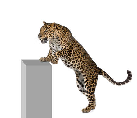 panthera pardus: Leopard, Panthera pardus, climbing on pedestal against white background, studio shot