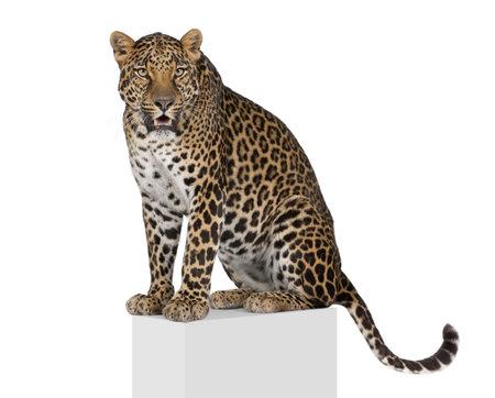 panthera pardus: Portrait of leopard, Panthera pardus, on pedestal against white background, studio shot