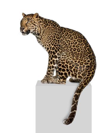 panthera: Ritratto di leopardo, Panthera pardus, su piedistallo contro sfondo bianco, studio shot