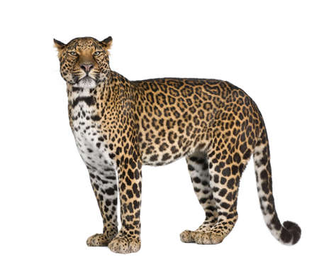 leopard cat: Portrait of leopard, Panthera pardus, standing against white background, studio shot