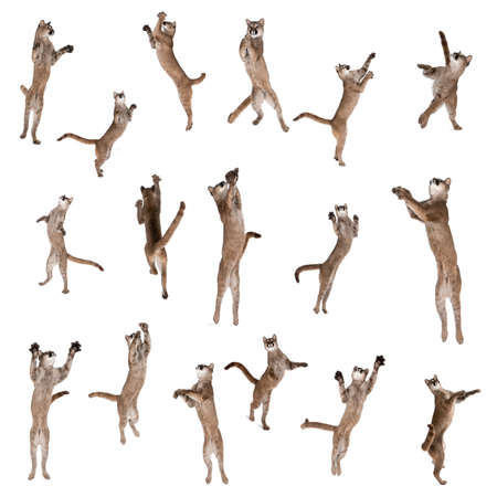 leap: Multiple Pumas jumping in air against white background, studio shot