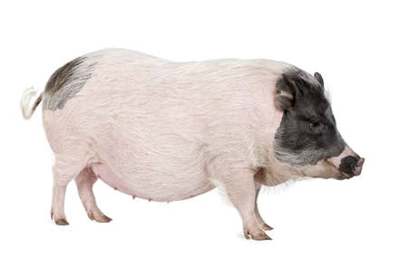 Side view of Gottingen minipig standing against white background, studio shot photo