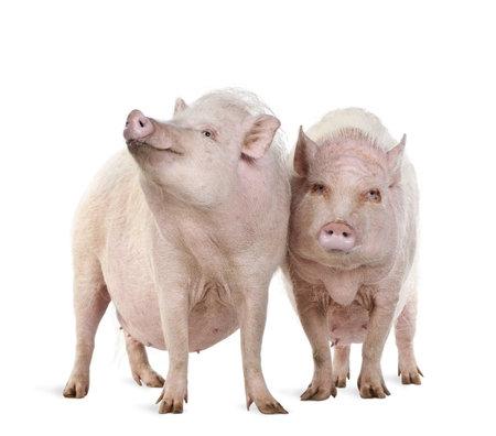 cerdos: Disparo de estudio de minipigs de Gottingen permanente sobre fondo blanco,