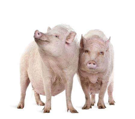 Gottingen minipigs standing against white background, studio shot photo
