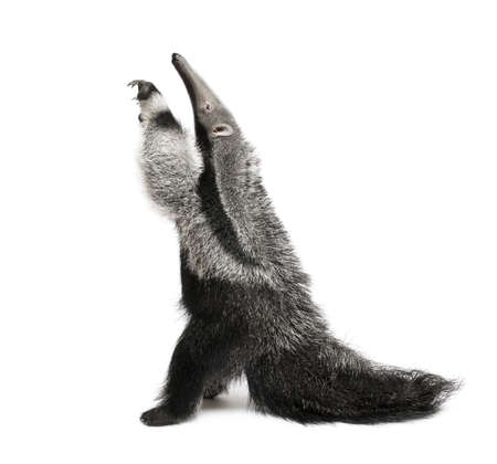 Young Giant Anteater, Myrmecophaga tridactyla, 3 months old, reaching up in front of white background, studio shot