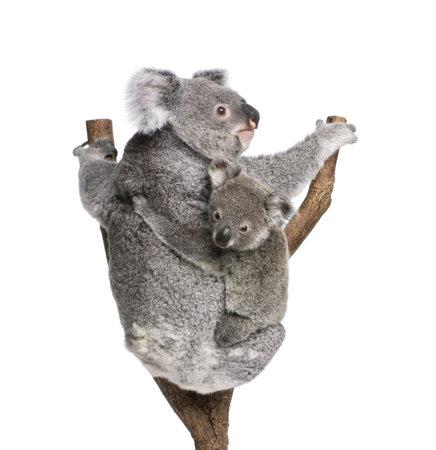 phascolarctos cinereus: Koala osos trepando �rbol, de 4 a�os y 9 meses de edad, Y cinereus, delante de fondo blanco  Foto de archivo