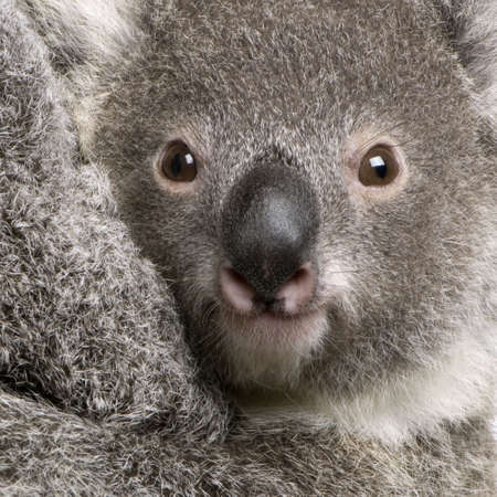 9 months old: Close-up of koala oso, Phascolarctos cinereus, 9 meses de edad Foto de archivo