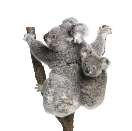 koalabeer: Koala beren klimmen boom, 4 jaar en 9 maanden oud, Phascolarctos cinereus, voor witte achtergrond