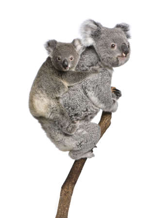 9 months: Koala bears climbing tree, 4 years old and 9 months old, Phascolarctos cinereus, in front of white background