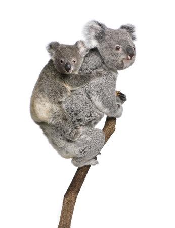 koalabeer: Koala beren boom klimmen, 4 jaar en 9 maanden oud, Phascolarctos cinereus, voor witte achtergrond Stockfoto