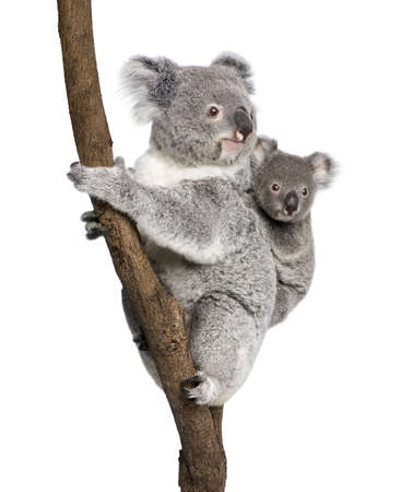 koala: Koala bears climbing tree, 4 years old and 9 months old, Phascolarctos cinereus, in front of white background