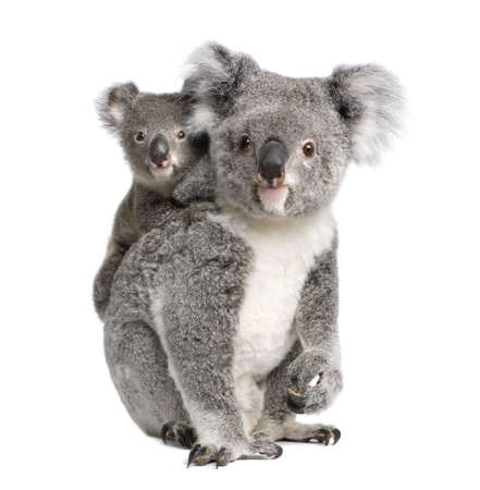 9 months: Portrait of Koala bears, 4 years old and 9 months old, Phascolarctos cinereus, in front of white background Stock Photo