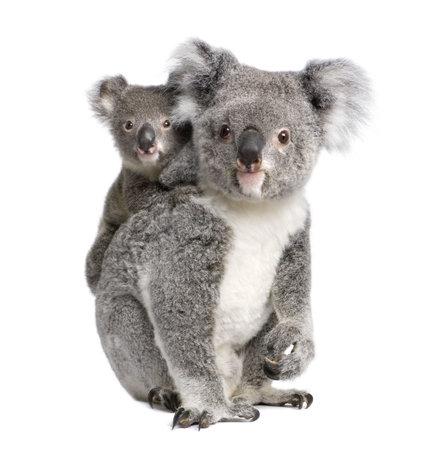 koalabeer: Portret van Koala beer, 4 jaar en 9 maanden oud, Phascolarctos cinereus, voor witte achtergrond Stockfoto