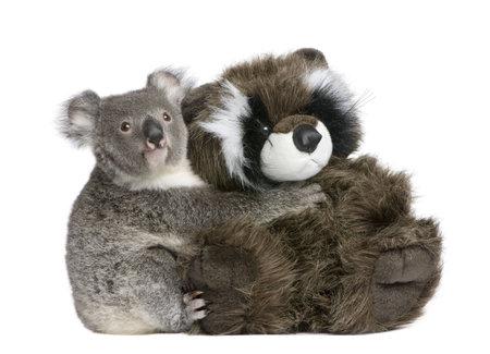 9 months old: Retrato de un koala macho abrazar oso de peluche, cinereus Phascolarctos, 9 meses de edad, delante de fondo blanco,
