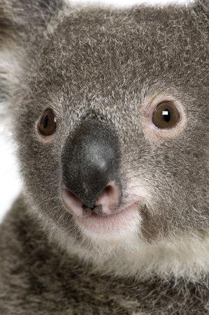 Close-up portrait of male Koala bear, Phascolarctos cinereus, 3 years old Stock Photo - 5570377