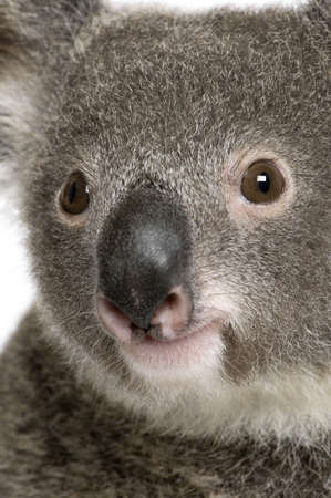 Close-up portrait of male Koala bear, Phascolarctos cinereus, 3 years old Stock Photo - 5570377