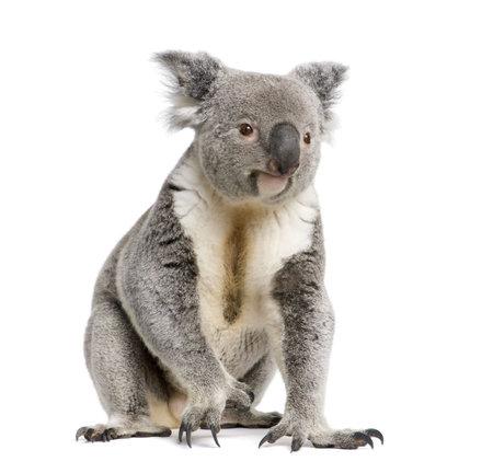 phascolarctos cinereus: Retrato de un koala masculino, cinereus Phascolarctos, 3 a�os de edad, delante de fondo blanco, foto de estudio