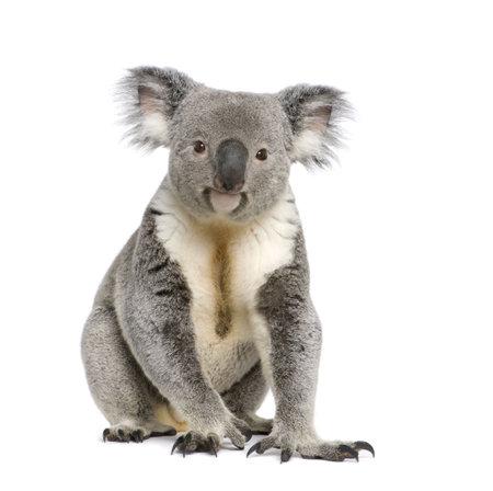 koalabeer: Portret van mannelijke Koala beer, Phascolarctos cinereus, 3 jaar oud, tegenover witte achtergrond, studio shot Stockfoto