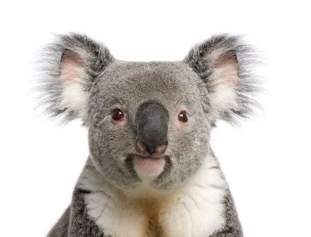 Portrait of male Koala bear, Phascolarctos cinereus, 3 years old, in front of white background, studio shot