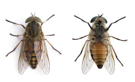 horsefly: High angle view of two pale giant horse flies, Tabanus bovinus, against white background, studio shot Stock Photo
