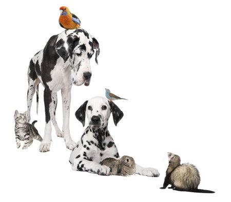 roedor: Grupo de mascotas: perros, aves, conejo, gato, hur�n en frente de fondo blanco  Foto de archivo
