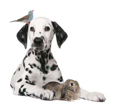 dalmation: Group of pets : dog puppy, bird, rabbit in front of white background