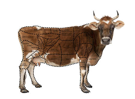 Portrait of brown Jersey cow, 10 years old, standing in front of white background, studio shot  photo