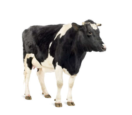 black and white farm: Cow standing in front of white background, studio shot