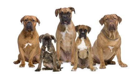 dogs sitting: Retrato de boxeador perros sesi�n en frente de fondo blanco, disparo de estudio