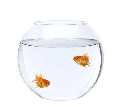 goldfishes: Studio di due ciprino dorato nuoto nella ciotola di pesce davanti a sfondo bianco, girato  Archivio Fotografico