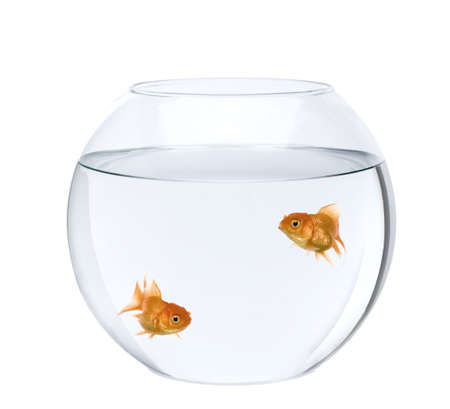Two goldfish swimming in fish bowl in front of white background, studio shot photo