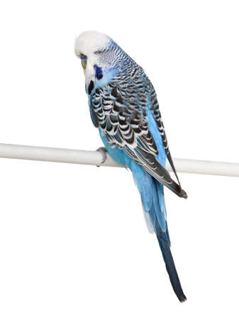 Blue Budgerigar bird perched on pole in front of white background, studio shot photo