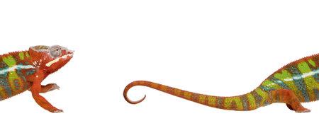 cropped shots: Chameleon, Furcifer Pardalis Ambilobe, 18 months old, against white background, studio shot Stock Photo