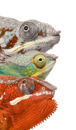 Close-up of colorful Chameleon Furcifer Pardalis, Masoala, 4 years old, in front of white background, studio shot photo