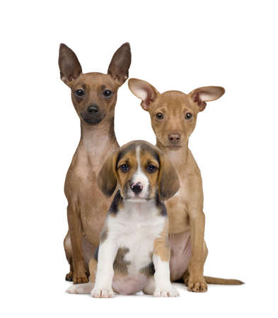 miniature people: Portrait of Miniature Pinschers and Beagle puppy sitting in front of white background, studio shot