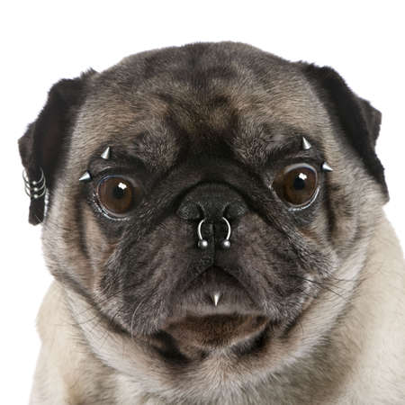 Portrait of pug with nose and face piercings in front of white background, studio shot photo