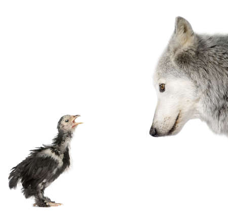 Mackenzie Valley Wolf looking at a chick in front of white background, studio shot photo