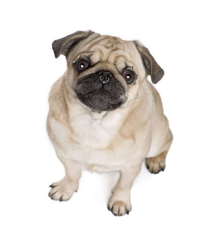 pug nose: Portrait of pug with nose and face piercings in front of white background, studio shot