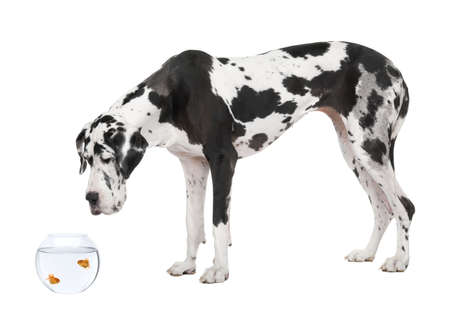 spotted dog: Great Dane looking at goldfish in fish bowl in front of white background, studio shot Stock Photo