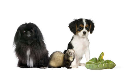 Portrait of dogs, ferret, and green snake in front of white background, studio shot photo