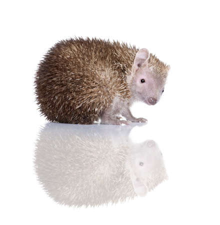 Portrait of Lesser Hedgehog Tenrec, Echinops telfairi, in front of white background photo