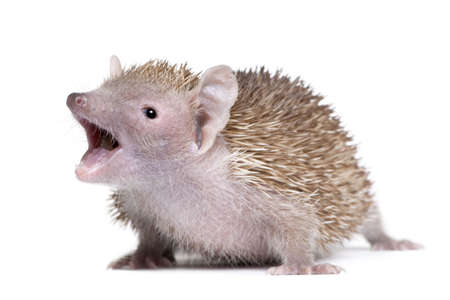 Portrait of Lesser Hedgehog Tenrec with mouth open, Echinops telfairi, in front of white background photo