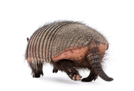 backside: Rear view of Armadillo, Dasypodidae Cingulata, walking in front of white background