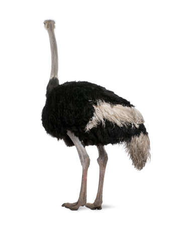 struthio camelus: Male ostrich, Struthio camelus standing in front of a white background, studio shot