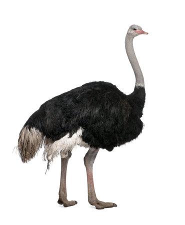 Mannelijke struis vogel, Struthio camelus staat voor een witte achtergrond, studio opname Stockfoto
