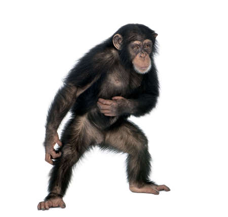 chimp: Young chimpanzee, Simia Troglodytes, 5 years old, standing in front of white background, studio shot Stock Photo
