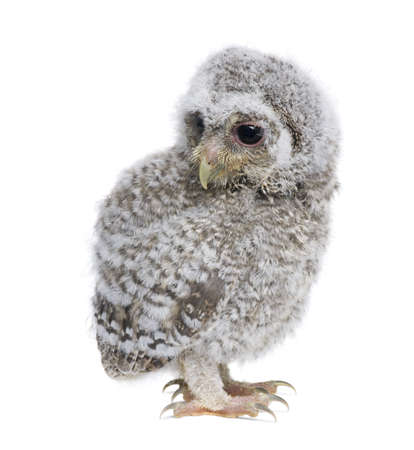 weeks: Baby Little Owl, 4 weeks old, Athene noctua, in front of a white background Stock Photo