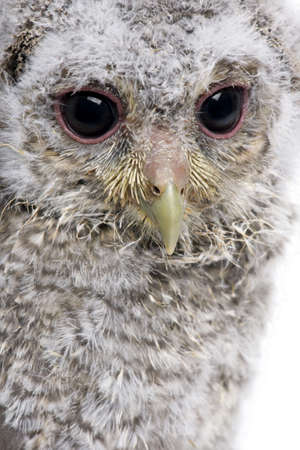 Close-up of Baby Little Owl, 4 weeks old, Athene noctua, in front of a white background photo